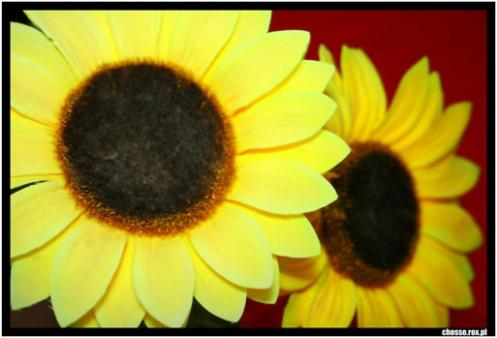 Kwiaty na Dzień Kobiet 8.03.2008 AD=)